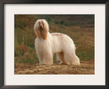 Afghan Hounds Portrait Prints by Adriano Bacchella