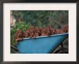 Domestic Dogs, a Wheelbarrow Full of Irish / Red Setter Puppies Prints by Adriano Bacchella