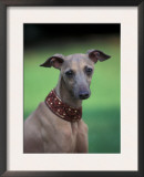 Fawn Whippet Wearing a Collar Poster by Adriano Bacchella