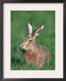 European Hare Print by Petra Wegner