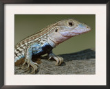 Texas Spotted Whiptail Lizard, Male, Texas, USA Prints by Rolf Nussbaumer