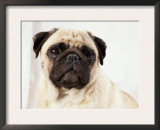 Pug Dog Prints by  Steimer