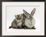Silver Exotic Kitten, 9-Week with Silver Rex Doe Rabbit Poster by Jane Burton