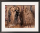 Lhasa Apso with Plaited Hair Looking Back Prints by Adriano Bacchella