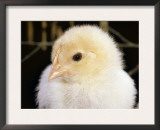 Portrait of a Chick, 3-Week-Old Prints by Jane Burton