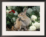 Pet Domestic Mini Rex Rabbit Amongst Hydrangea Flowers Prints by Lynn M. Stone