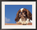 King Charles Cavalier Spaniel Adult Portrait Art by Adriano Bacchella