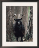 Feral Goat Male in Pinewood (Capra Hircus), Scotland Prints by Niall Benvie