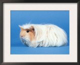 Red Moulted Coronet Guinea Pig Posters by Petra Wegner