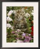 10-Week, Long Haired Tabby Kitten 'Powder Puff' Among Hosta, Verbena, Aphrodite, Argyranthemum Prints by Jane Burton