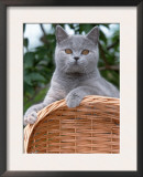 British Blue Shorthair Cat Poster by De Meester