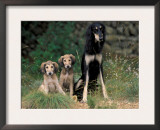 Saluki Sitting up with Two Puppies Posters by Adriano Bacchella