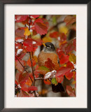 American Robin, Male in Black Hawthorn, Grand Teton National Park, Wyoming, USA Prints by Rolf Nussbaumer