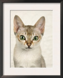 Head Portrait of Singapura Cat Prints by Petra Wegner