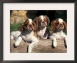 Three King Charles Cavalier Spaniel Puppies on Log Prints by Adriano Bacchella