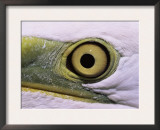 Great Egret, Close up of Eye, Pusztaszer, Hungary Posters by Bence Mate