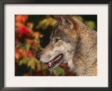 Grey Wolf, Head Profile, Montana, USA Posters by Lynn M. Stone