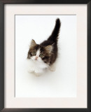 Looking Down on Domestic Cat, 7-Week Tabby and White Persian-Cross Kitten Looking Up Prints by Jane Burton