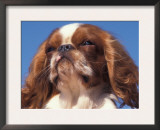 King Charles Cavalier Spaniel Adult Portrait Prints by Adriano Bacchella