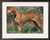 Smooth / Short-Haired Segugio Italiano Hound Standing in Show Stack / Pose Poster by Adriano Bacchella