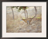 Bengal Tiger Running Through Grass, Bandhavgarh National Park India Posters by E.A.