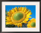Sunflowers 'Sunbeam' Prints by De Cuveland