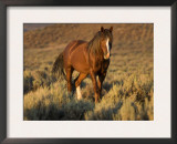 Mustang / Wild Horse, Chestnut Stallion Walking, Wyoming, USA Adobe Town Hma Print by Carol Walker