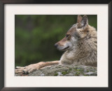 European / Grey Wolf, Resting on Boulder in Forest, Bavarian Forest, Germany Prints by Philippe Clement
