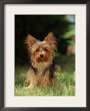 Yorkshire Terrier Art by  Steimer