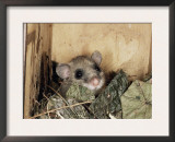 Fat Dormouse in Bird Nestbox, Switzerland Posters by Rolf Nussbaumer