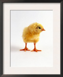 Yellow Chick Posters by Jane Burton