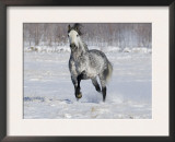 Grey Andalusian Stallion Trotting in Snow, Longmont, Colorado, USA Posters by Carol Walker