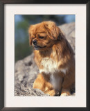 Tibetan Spaniels Sitting on Rocks and Looking Down Print by Adriano Bacchella