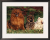 German Spitz (Klein) with Two Puppies Prints by Adriano Bacchella
