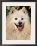 Japanese Spitz Panting Prints by Adriano Bacchella