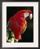 Scarlet Macaw Art by Niall Benvie