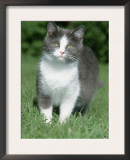 Pregnant Domestic Cat Prints by De Meester