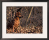 Tyrolean Bloodhound Sitting in Dry Leaves Print by Adriano Bacchella