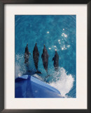 Atlantic Spotted Dolphins (Stenella Frontalis) Bowriding Bahamas Art by Jurgen Freund