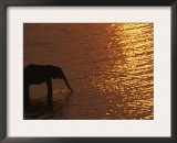 African Elephant, Drinking at Dusk, Chobe National Park, Botswana Posters by Pete Oxford