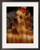 Yorkshire Terrier with Hair Tied up and More Hair Falling Over the Edge Prints by Adriano Bacchella