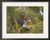 Female Tiger, with Four-Month-Old Cub, Bandhavgarh National Park, India Poster by Tony Heald