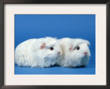 Two White Coronet Guinea Pigs Prints by Petra Wegner