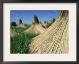 Harvested Common Reed, Lake of Neusiedl, Austria Prints by Rolf Nussbaumer