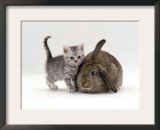 Domestic Cat, Silver Spotted Kitten with Agouti Lop Rabbit Art by Jane Burton