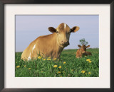 Guernsey Cows, at Rest in Field, Illinois, USA Posters by Lynn M. Stone