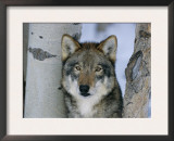Grey Wolf Head Portrait, Us Prints by Lynn M. Stone