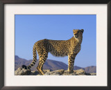 Portrait of Standing Cheetah, Tsaobis Leopard Park, Namibia Art by Tony Heald