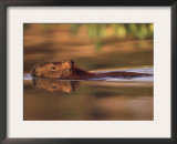 Capybara Swimming, Pantanal, Brazil Prints by Pete Oxford
