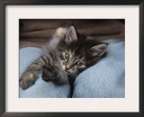 Norwegian Forest Kitten in Basket Print by Petra Wegner